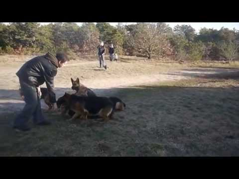 Augusto the dog trainer with unleashed German Shepherds.