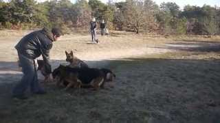 Augusto the dog trainer with unleashed German Shepherds. thumbnail