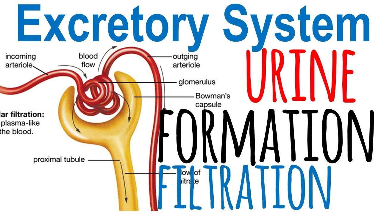 small resolution of urine formation diagram