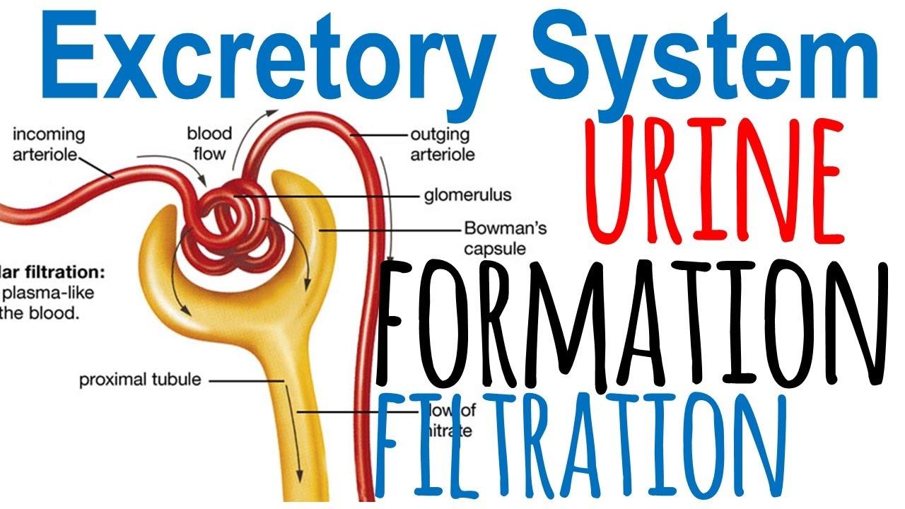 hight resolution of urine formation diagram