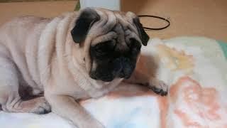 パグ犬ムゥは,寒い季節になるとストーブの前から動きません。こたつの中...
