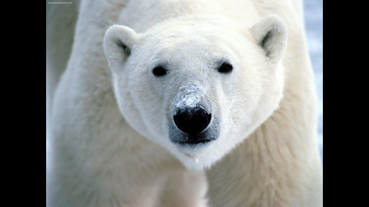 Fun Polar Bear Facts For Kids - Interesting And Amazing Facts ...
