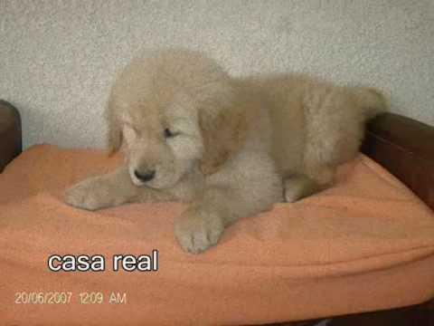 Cachorros golden retriever de venta en guatemala
