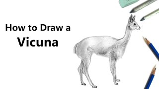 How to Draw a Vicuna with Pencils [Time Lapse]