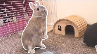 Cute Bunny Party Trick - Level 1 - Netherland Dwarf Rabbits