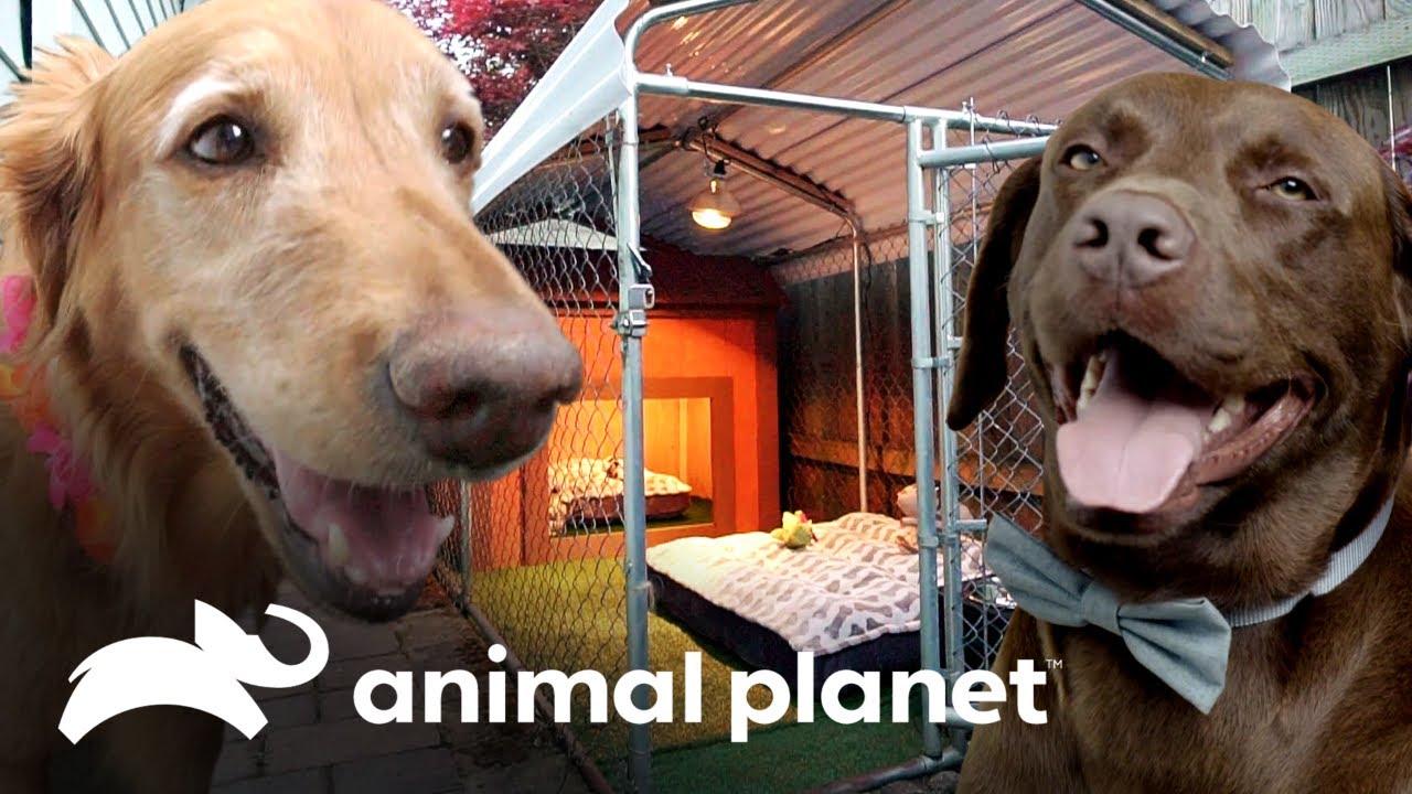 Cães apaixonados ganham casinha compartilhada! | Um Lar para Pets | Animal Planet Brasil