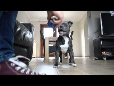 Staffordshire Bull Terrier puppy loves to play fetch !
