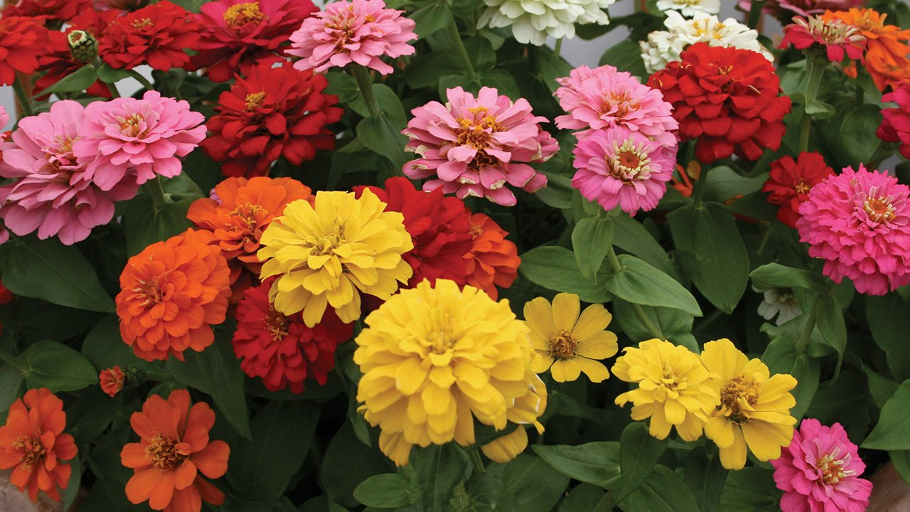 All About Zinnia Flowers Youtube