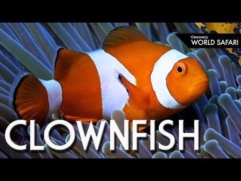 How Clownfish Choose Their Gender