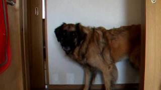 超大型犬レオンベルガーのナッシュ。 泳ぐの大好き!でもお風呂は大キラ...