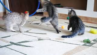 Британские кошки в возрасте 3 месяца (Litter-Н2)