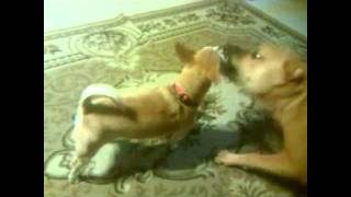 Dogbook Movie: COOTER BROWN & the grumpy little dogs.