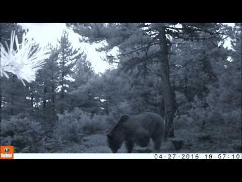 Kızılcahamam'da kameralara takıldı! Boz Ayı - Ursus Arctos