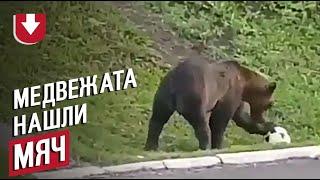 Медвежата играют в футбол на Камчатке