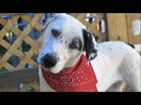 Dalmation Lab Mix For Your Cause