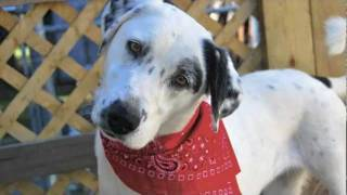 *adopted* Cookie, Lab/dalmation