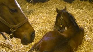 American Pharoah filly out of Untouched Talent