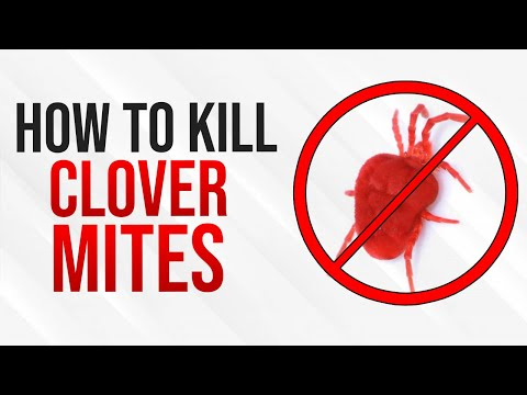 Kill Clover Mites Tiny Red Bugs