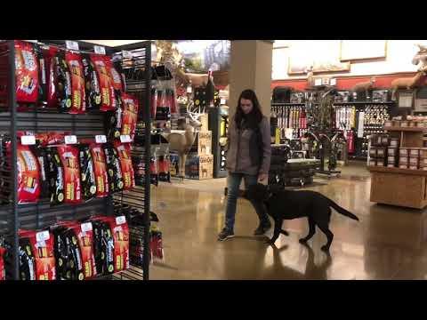 7-Month Old Black Lab, Vader | Black Lab Dog Training | Off Leash K9 Training