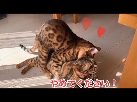 雌猫のベンガル猫ベルは雄猫テトがウザい