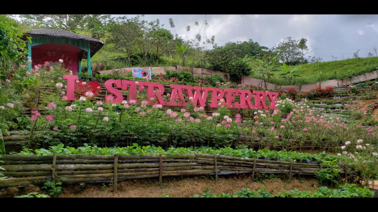 Cantipla Cebu Strawbery Farm - Strawberry de Cantipla Eco Farm - place of flowers and berries