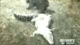 Bear vs Caiman. Bear totally Destroys and Owns Caiman. thumbnail