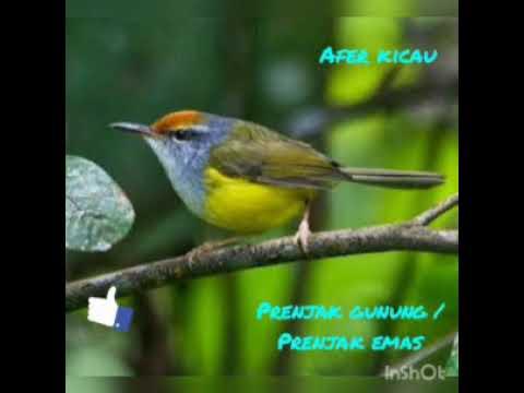 Suara Burung Prenjak Emas Youtube