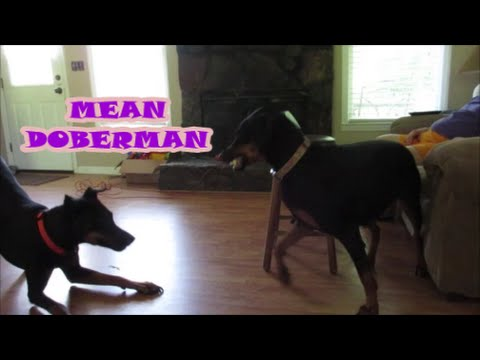DOBERMAN PINSCHER ATTACK