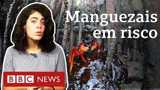 Essenciais para o planeta, manguezais no Nordeste são 'sufocados' por petróleo