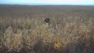 Охота с гончими на лис