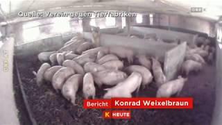 Schock-Bilder aus dem Schweinestall ORF Kärnten heute - 13.07.2017