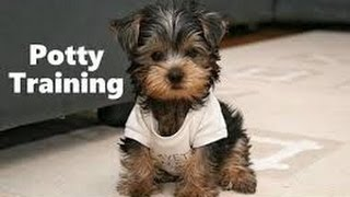 Yorkie Potty Training Tips---How to Potty Train a Yorkie