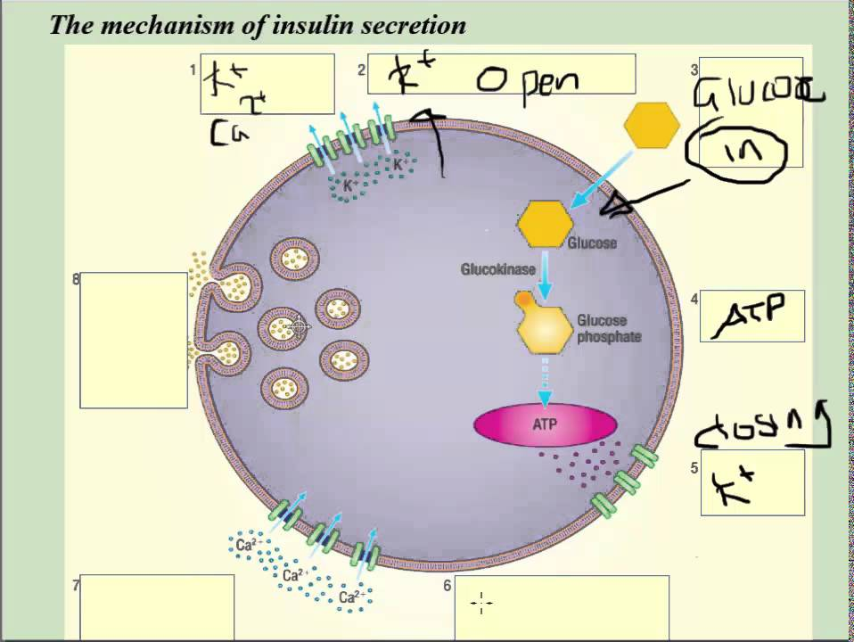 Insulin synthesis