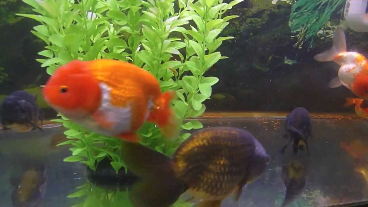 Attack Of The Cuteness Ranchu Amp Lionhead Goldfish らんちゅう
