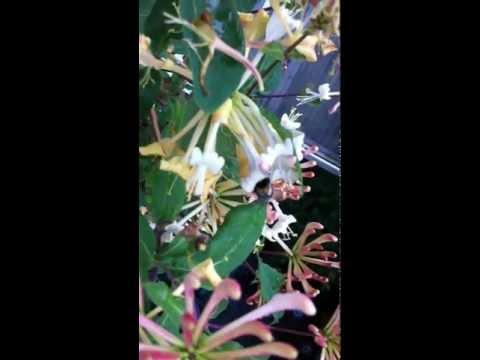 Gartenhummel an Lonicera periclymenum (Geissblatt)