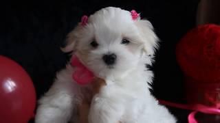 Продается красивая девочка МАЛЬТЕЗЕ 89085650206