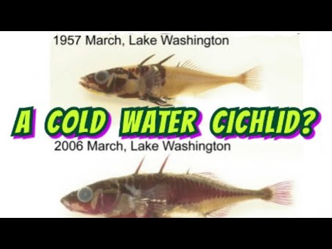 The 3 Spined Stickleback Is Changing Our Views On Evolution. +A Great ColdWater Aquarium Species Too