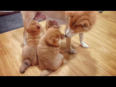 MOM DOES MOST AMAZING THING!! Shiba Inu Dogs