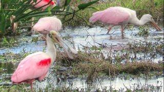 Video Roseate Spoonbill Flock Feeding -  A Meditation download MP3, 3GP, MP4, WEBM, AVI, FLV Juli 2018