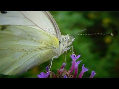 Pieris rapae leucotera (Stefanelli, 1869) HD - Piéride de la rave - Jardin papillons - 08/2014
