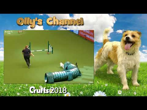 Olly the Jack Russell - Crufts 2018