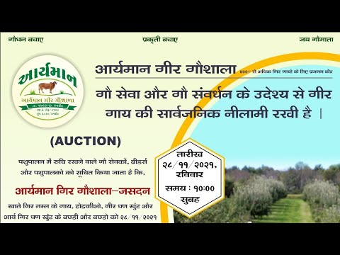 original sound of milking time & process of how to take milk from gaumata