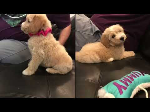Mimi Buster S F1b Medium Size Goldendoodle Puppies