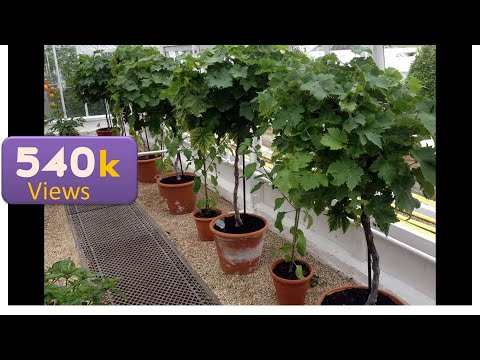 11 - How to Grow Grapes in a Pot - Roof Top Gardening in Containers