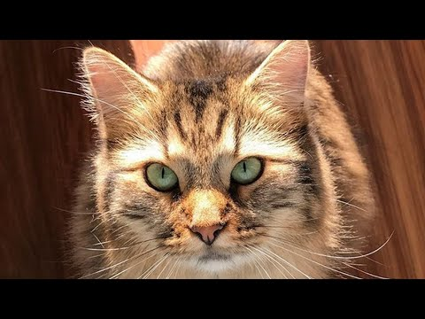 Meet Hazel, The Gorgeous Tailless Cat With Manx Syndrome Who Found A Wonderful Home