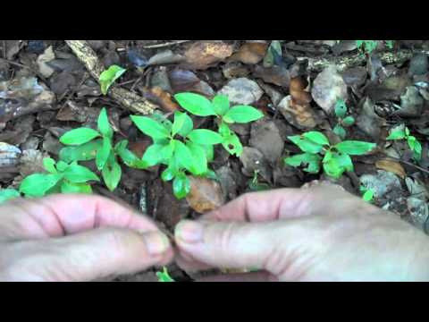 Eat the weeds episode 132 the camphor tree
