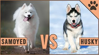 Samoyed vs Husky  Which Dog Is Better For You?