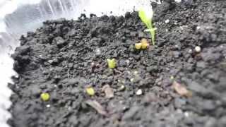 Кактусы из семян.
