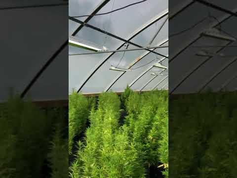 Verde Leaf ™ Farming & Genetics Team views genetics for our 2020 Hemp Season