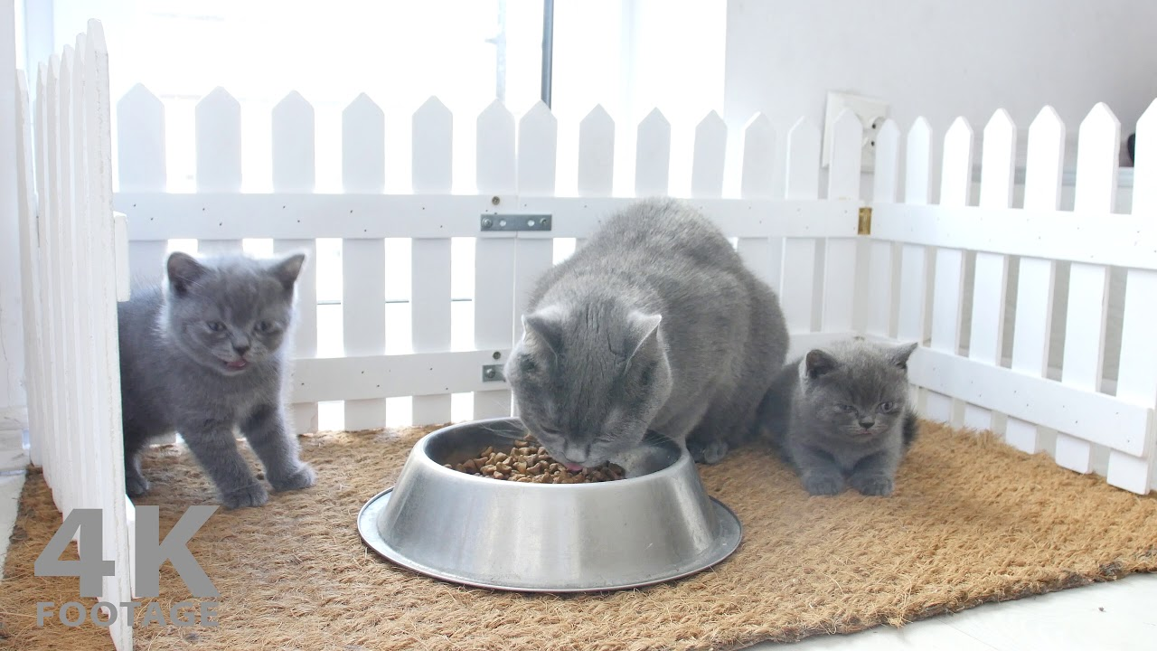 Mother Cat and Kittens Eating Pet Food, Real Sound - 4K ...